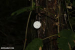 White mushroom [costa_rica_osa_0875]