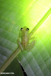 Glass frog [costa_rica_osa_0912]