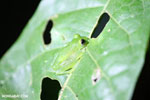 Glass frog [costa_rica_osa_0941]