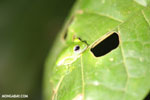 Glass frog [costa_rica_osa_0945]