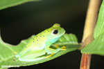 Glass frog [costa_rica_osa_0960]