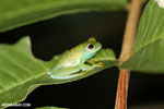 Glass frog [costa_rica_osa_0963]
