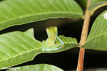 Glass frog [costa_rica_osa_0965]