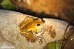 Frog [costa_rica_osa_0969]