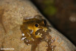 Frog [costa_rica_osa_0972]