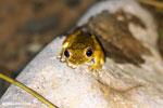 Frog [costa_rica_osa_0976]