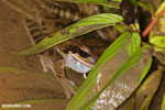 Masked rock frog (Litoria personata)
