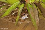 Masked rock frog (Litoria personata) [costa_rica_osa_0983]