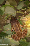 Smokey Jungle Frog (Leptodactylus pentadactylus)