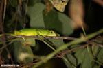 Juvenile green iguana [costa_rica_osa_0996]