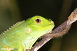 Juvenile green iguana [costa_rica_osa_0998]