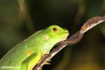 Juvenile green iguana [costa_rica_osa_1003]