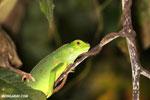 Juvenile green iguana [costa_rica_osa_1005]