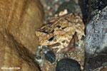Frog [costa_rica_osa_1016]