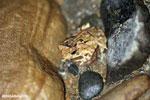 Frog [costa_rica_osa_1017]