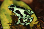 Green-and-black poison dart frog [costa_rica_siquirres_0003]