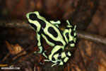 Green-and-black poison dart frog [costa_rica_siquirres_0004]