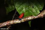 Strawberry poison-dart frog (Oophaga pumilio) [costa_rica_siquirres_0007]