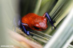 Strawberry poison-dart frog (Oophaga pumilio) [costa_rica_siquirres_0009]