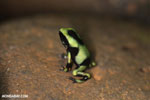 Baby green-and-black poison dart frog [costa_rica_siquirres_0010]