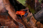 Strawberry poison-dart frog (Oophaga pumilio) [costa_rica_siquirres_0012]