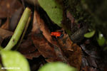 Strawberry poison-dart frog (Oophaga pumilio) [costa_rica_siquirres_0013]