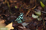 Green-and-black poison dart frog [costa_rica_siquirres_0020]