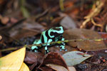Green-and-black poison dart frog [costa_rica_siquirres_0022]