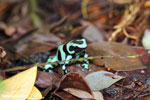 Green-and-black poison dart frog [costa_rica_siquirres_0023]