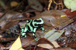 Green-and-black poison dart frog [costa_rica_siquirres_0024]