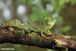 Green basilisk [costa_rica_siquirres_0028]