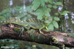 Green basilisk [costa_rica_siquirres_0030]