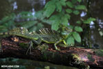 Green Jesus Christ lizard [costa_rica_siquirres_0031]