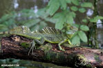 Green basilisk [costa_rica_siquirres_0032]