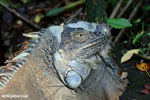Adult green iguana [costa_rica_siquirres_0033]