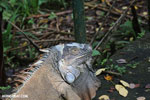 Adult green iguana [costa_rica_siquirres_0035]