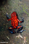 Strawberry poison-dart frog (Oophaga pumilio) [costa_rica_siquirres_0038]