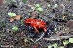 Strawberry poison-dart frog (Oophaga pumilio) [costa_rica_siquirres_0039]