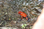 Strawberry poison-dart frog (Oophaga pumilio) [costa_rica_siquirres_0042]