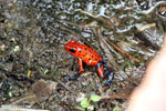 Strawberry poison-dart frog (Oophaga pumilio) [costa_rica_siquirres_0043]