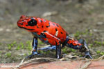 Strawberry poison-dart frog (Oophaga pumilio) [costa_rica_siquirres_0044]