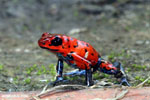 Strawberry poison-dart frog (Oophaga pumilio) [costa_rica_siquirres_0045]