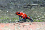 Strawberry poison-dart frog (Oophaga pumilio) [costa_rica_siquirres_0046]