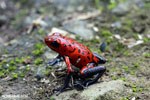Strawberry poison-dart frog (Oophaga pumilio) [costa_rica_siquirres_0049]