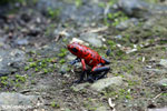 Strawberry poison-dart frog (Oophaga pumilio) [costa_rica_siquirres_0052]