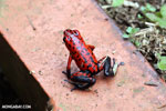 Strawberry poison-dart frog (Oophaga pumilio) [costa_rica_siquirres_0053]