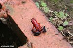 Strawberry poison-dart frog (Oophaga pumilio) [costa_rica_siquirres_0057]
