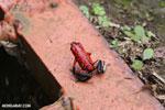 Strawberry poison-dart frog (Oophaga pumilio) [costa_rica_siquirres_0057]