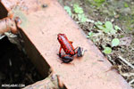 Strawberry poison-dart frog (Oophaga pumilio) [costa_rica_siquirres_0058]