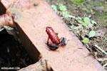 Strawberry poison-dart frog (Oophaga pumilio) [costa_rica_siquirres_0058]